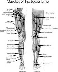 leg muscle diagram picture 1