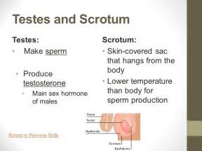 testosterone and production of sperm picture 6