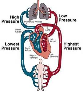 blood circulation in human picture 3