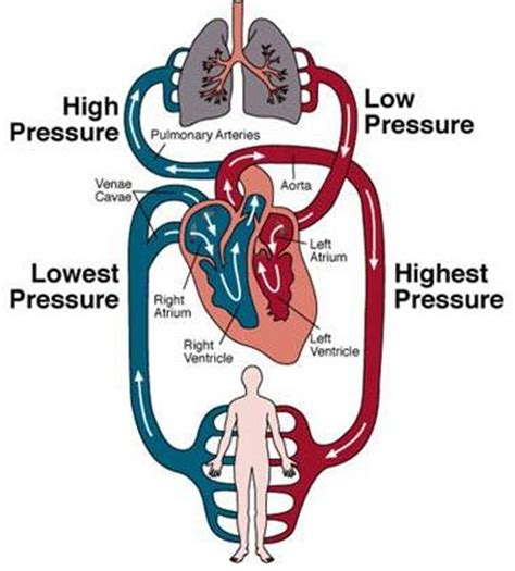 Blood circulation in human picture 4