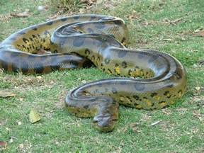 anaconda diet picture 6