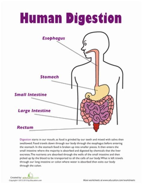 digestive system 7th grade science picture 10