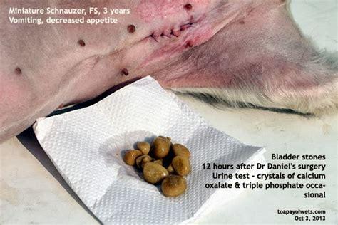 mini schnauzer bladder problems picture 2
