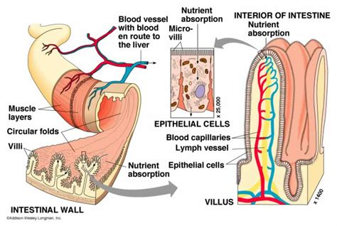 foods that contain enzymes and amino acids that relax blood vessels picture 6