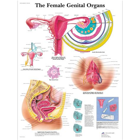 female genital picture 3