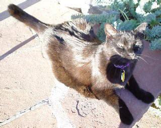 hyperthyroid cat thytrophin picture 2