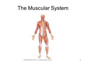 functions of muscle system picture 9