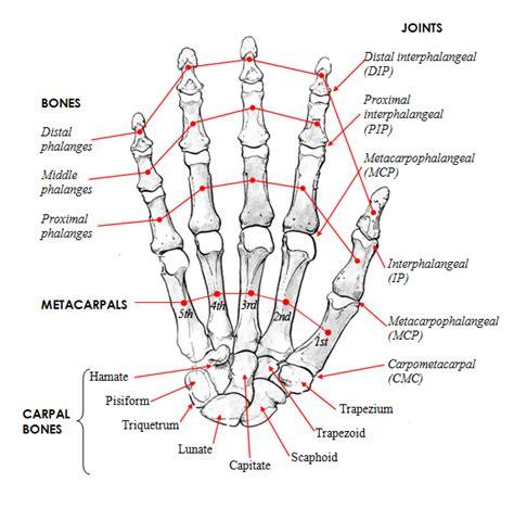 bones joints picture 5