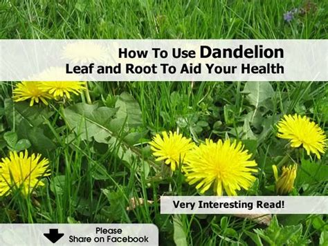 dandelion for health picture 19
