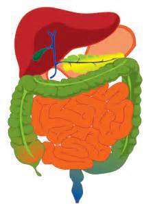 thedigestion system for kids picture 2