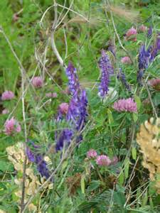 red clover uses picture 10