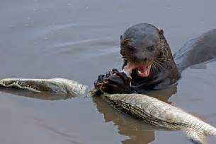 baby river otter diet picture 1