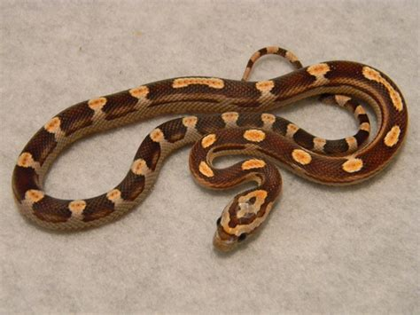 loss of appee in corn snakes picture 4