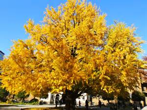 ginkgo trees picture 2