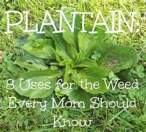 benefits of plantain herb picture 1