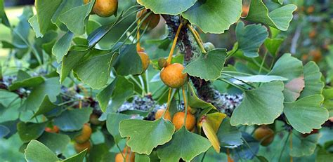 what can you use ginkgo biloba picture 10