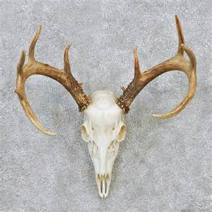 deer skull and h picture 11
