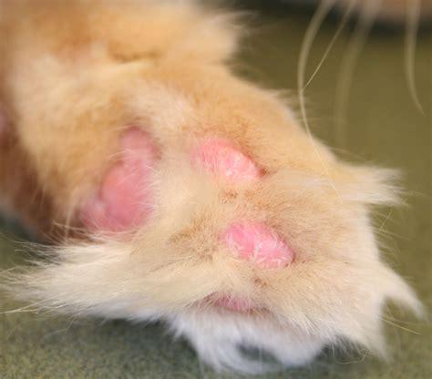 cat skin diseases picture 1