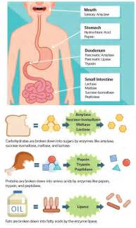 step by step of digestion and metabolism picture 7