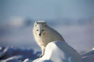 polar bear hide for sale canada picture 7