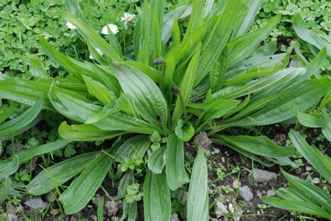 common plantain picture 5