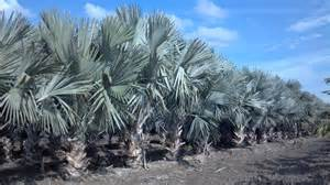 acai palm trees for sale picture 5