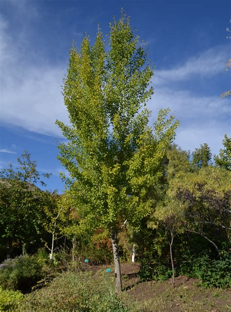 where are ginkgo biloba trees originally from picture 11