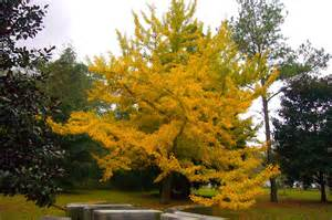 ginkgo tree picture 1