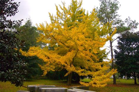 ginkgo trees picture 1