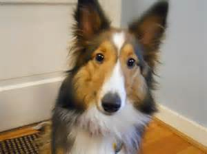 shelties h picture 6