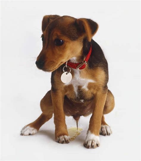 puppies with a bladder infection picture 2
