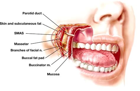facial anatomy lips picture 11