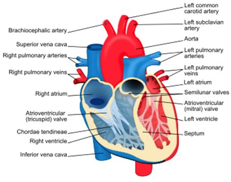 animation of blood flow though heart picture 10