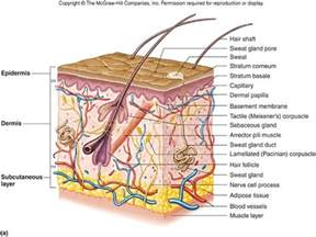 integumentary system skin model picture 11
