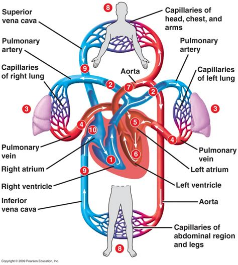 circulation of blood flowchart picture 1