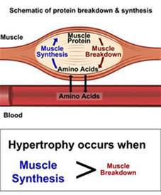 amino acids muscle picture 2