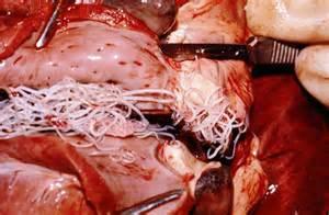 feline blood parasites that cause liver failure picture 10