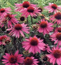 echinacea to quit smoking picture 3