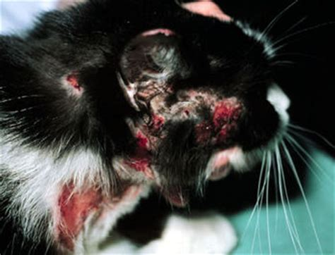 feline skin allergies picture 15
