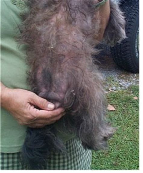 dog skin disease picture 17