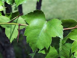 hawthorn tree identification picture 1