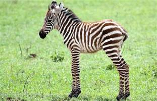 how are zebras h different to human h picture 6