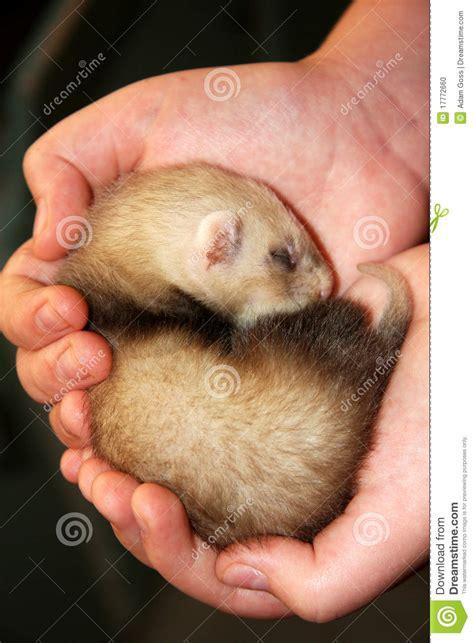 ferrets sleeping picture 5