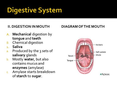 digestion teeth picture 10