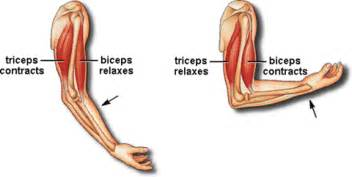 bicep muscle tissue picture 1