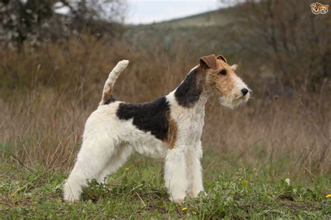 wire hair fox terriers picture 17