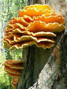 taiga fungi picture 1