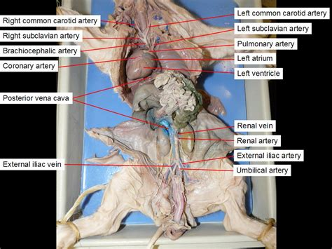 fetal pig digestion system dissection picture 2