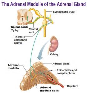 is testosterone produced by the adrenal cortex picture 9