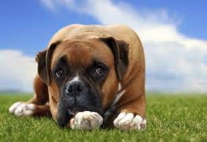 Canine prostate problems in neutered male picture 4